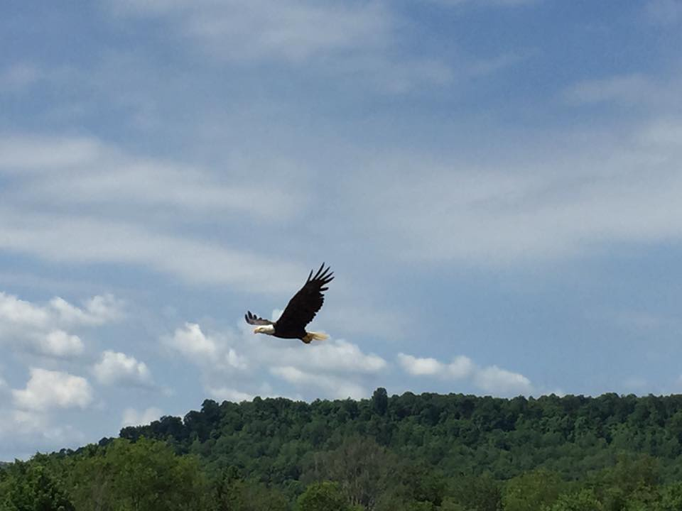 """Bald Eagle sighted on Lawsonham Road in Rimersburg."" Photo courtesy of Tina Surdi Meeker."