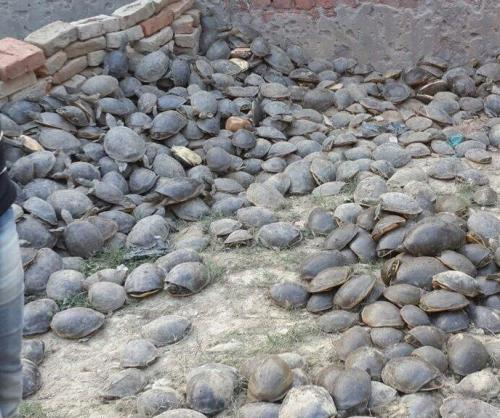 6000-turtles-rescued-from-smuggler-in-India-house-raid
