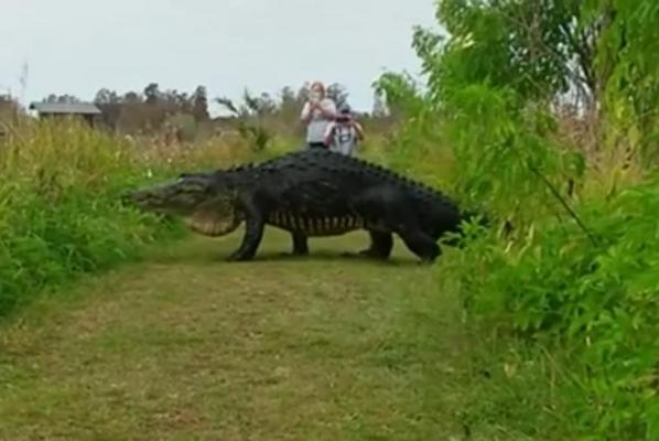 Monster-gator-recorded-at-Florida-reserve-compared-to-dinosaur-and-Godzilla