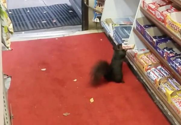 Toronto-convenience-store-looks-to-combat-serial-squirrel-thieves