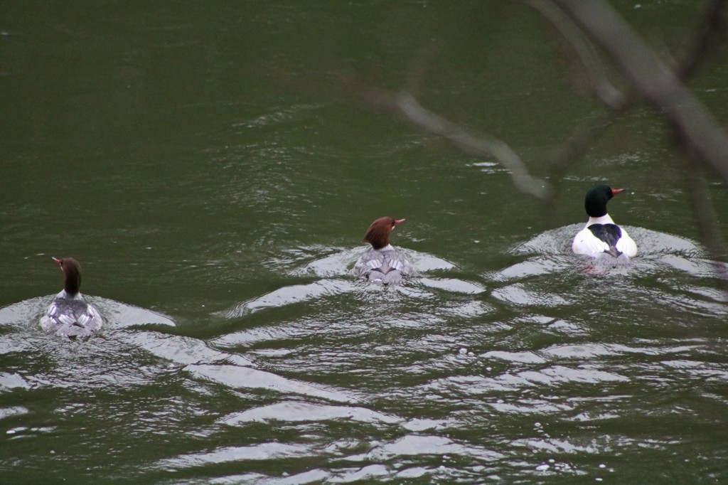 """""""Here is a shot of two female common mergansers (gray) and one male (white).""""  Photo courtesy of Pale Whale Canoe Fleet."""