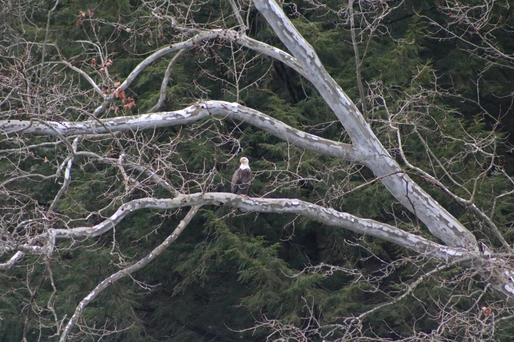 """""""Look who was hanging out in the sycamore tree across the river from the playground on River Road! It's a dreary day in the forest, but the animals were out and about."""" Photo courtesy of Pale Whale Canoe Fleet."""