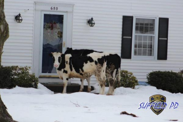 Connecticut-police-apprehend-suspicious-cows-outside-residents-front-door