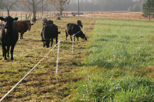 Beef cattle on an intesively managed pasture system.