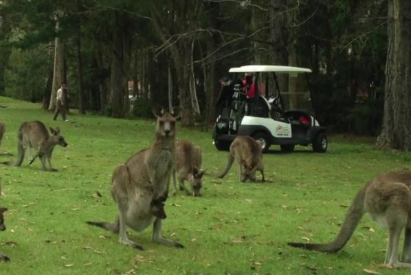Australian-man-finds-golf-course-swarmed-by-kangaroos
