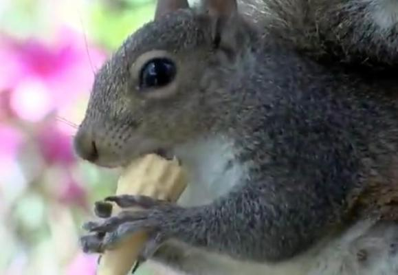 Ice-cream-loving-squirrel-treated-to-daily-cones-from-North-Carolina-shop