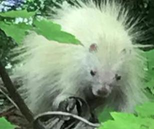 Connecticut-woman-captures-footage-of-rare-albino-porcupine