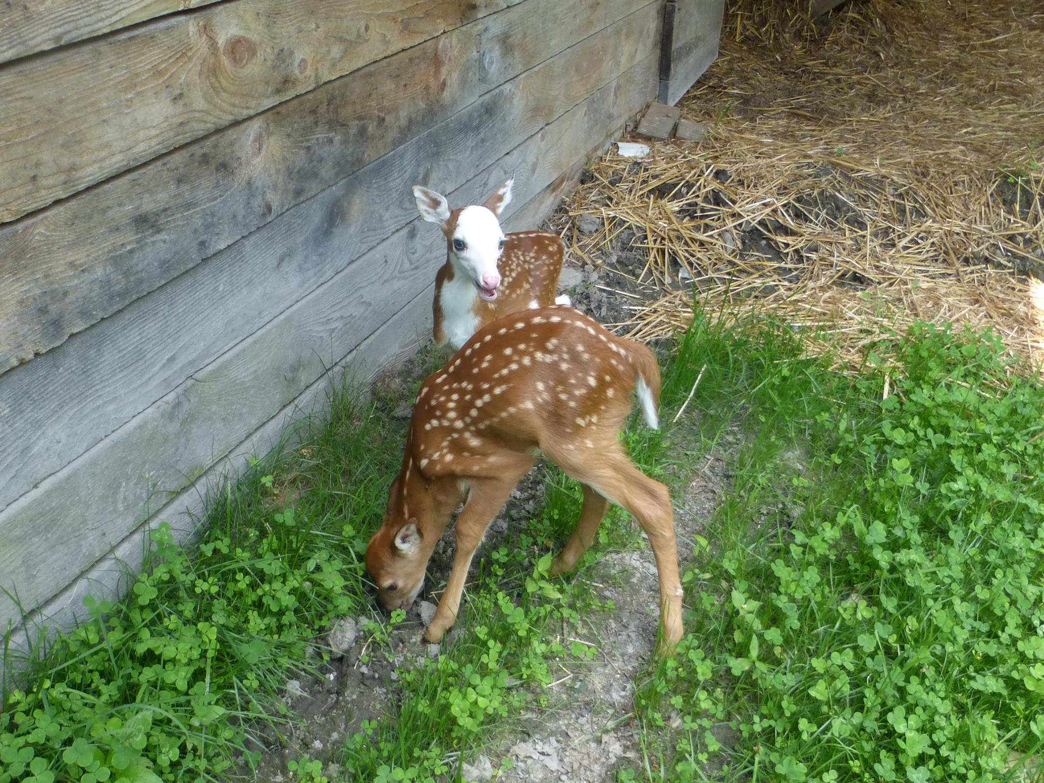 Fawns - Parker and Peggy Ann at the Double Diamond Deer Ranch in Cooksburg. Pa.