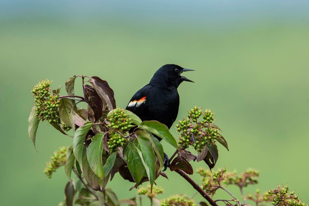 Red-winged Black Bird at Kahle Lake. Captured by John McCullough Photography.