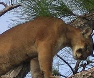Possible-panther-recorded-lounging-by-Florida-womans-pool