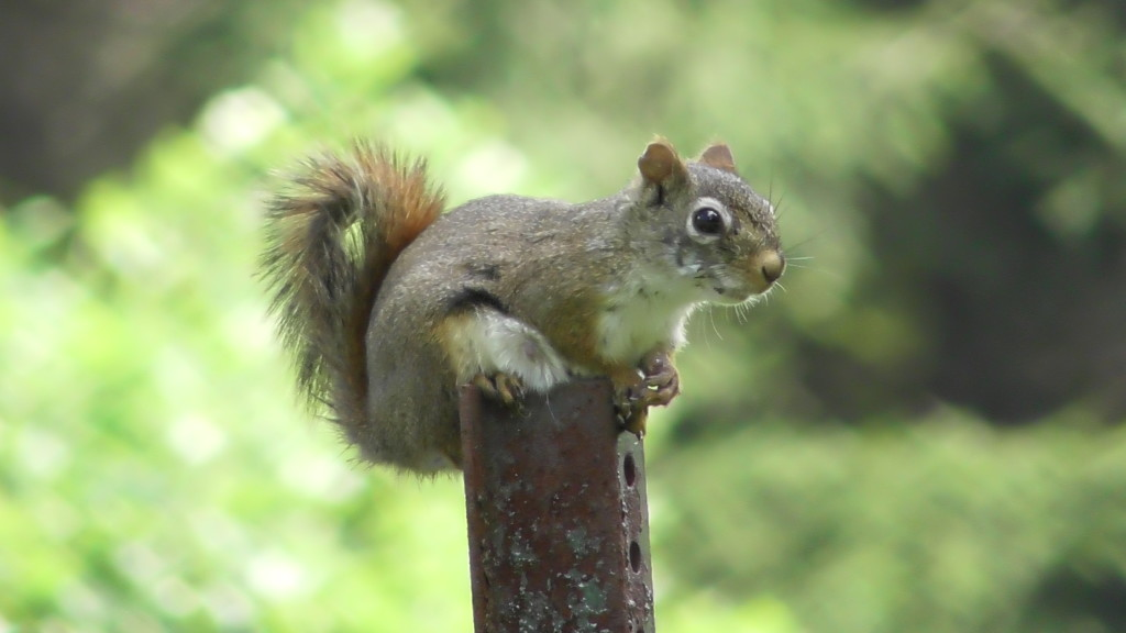 State Game Lands 54 Red Squirrel