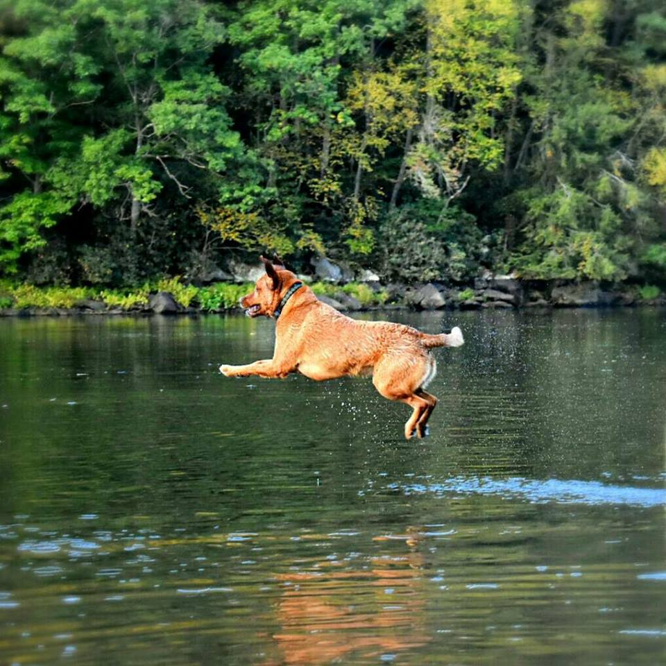 Copper enjoying his 7th birthday with a dive into the Clarion River! Photo submitted by Krista Bullers‎.