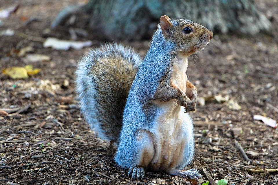 squirrel-1407699_960_720