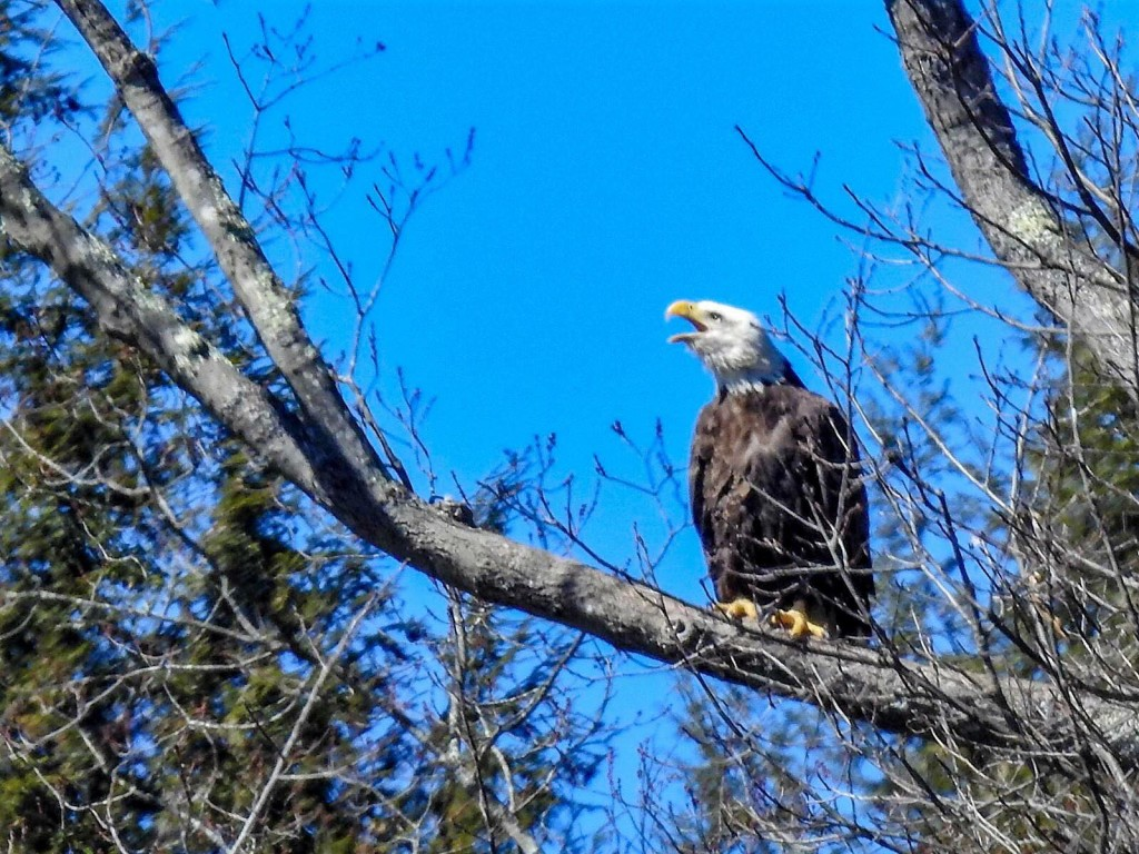 Eagle along the Clarion River. Submitted by Greg Clary.
