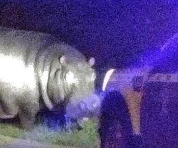 Escaped-hippo-returned-to-circus-in-Spain