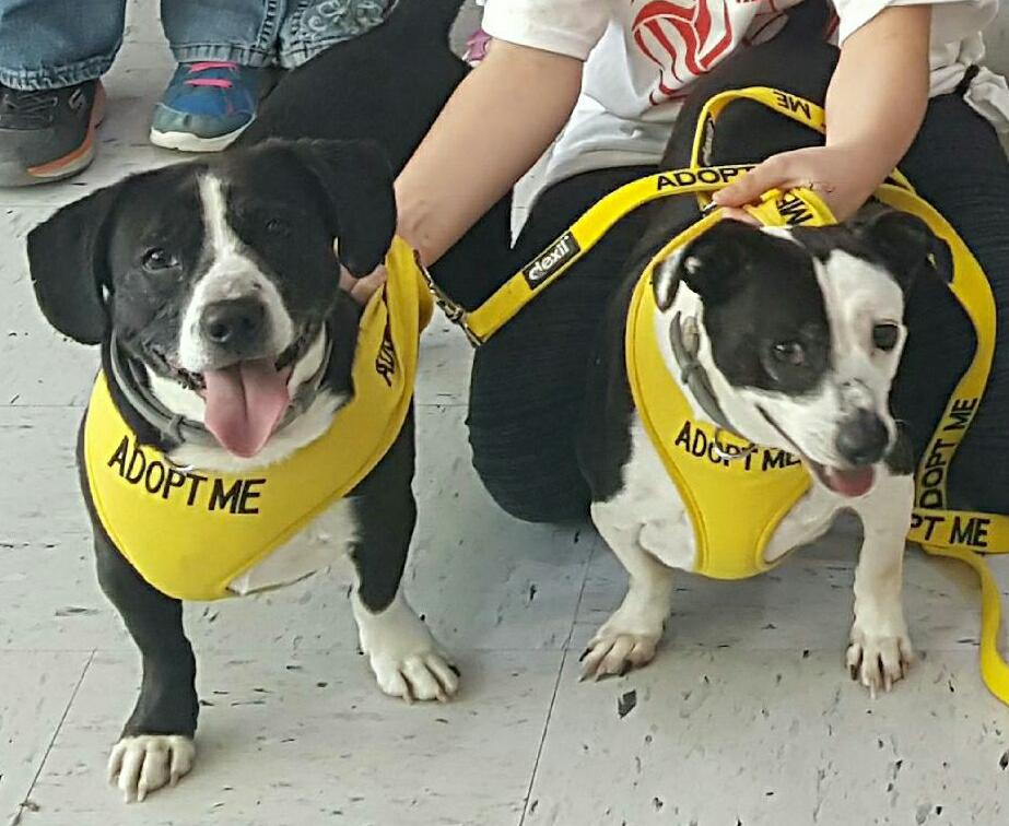 Clarion PUPS adoptable dogs SAMMY & TRIXIE, visited a local Girl Scout Daisy Troop. Troop leaders helped their scouts to learn about pet care as a part to complete their journey project.  SAMMY & TRIXIE are Boston Terrier/Corgi mixes and are still waiting for that wonderful home where they can stay together. Submitted by Lenore Smathers.