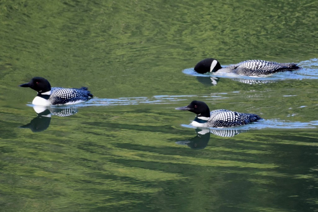 Common Loons on the Clarion River. Submitted by Greg Clary.