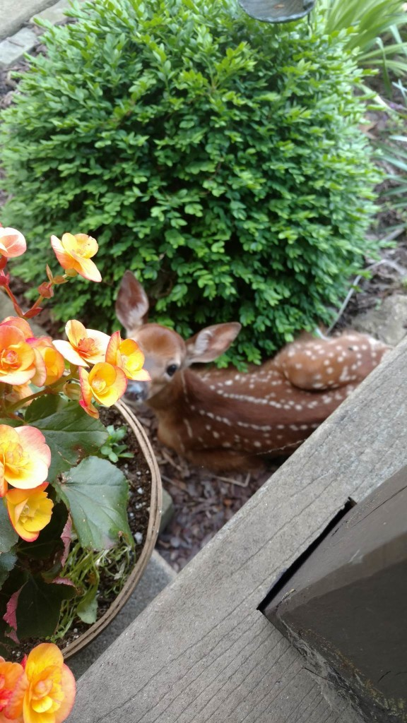 Little fawn hunkered down by a porch in Rimersburg. Submitted by Tina Gibbs.