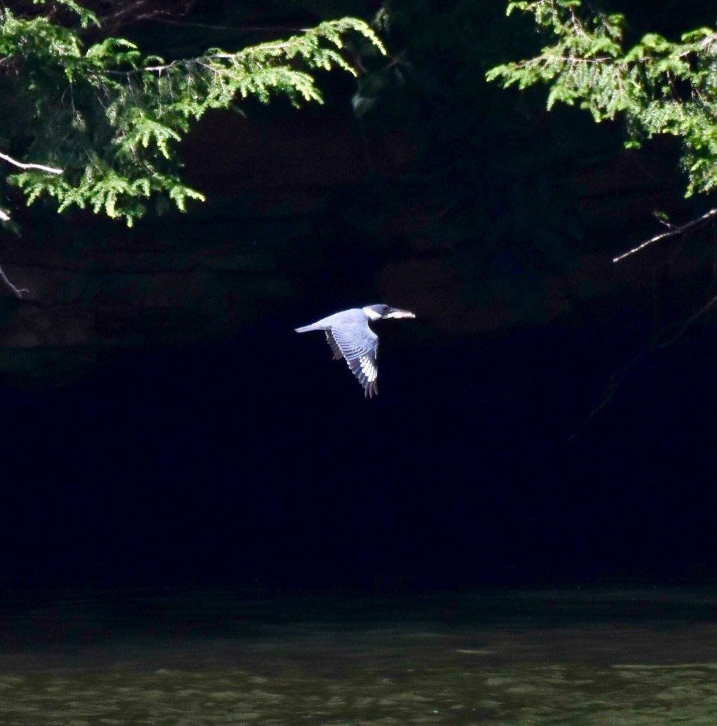 Belted Kingfisher on the Clarion River near the Toby Bridge. Submitted by Greg Clary.