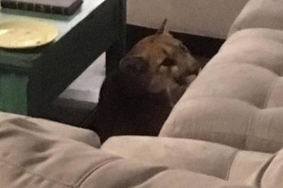 Wildlife-officials-seek-mountain-lion-that-broke-into-home