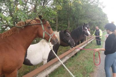 Escaped-horses-run-loose-on-highway