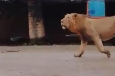 Fearless-dog-chases-lion-away-from-village