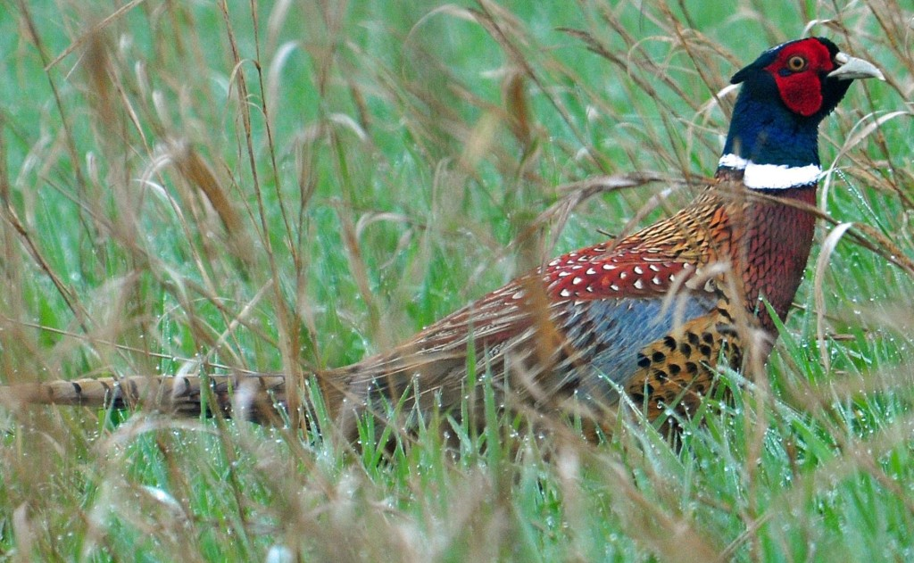 More Birds, Roosters, and Opportunity This Pheasant Season