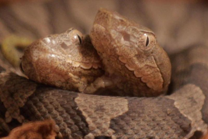Two-headed-copperhead-snake-donated-to-Kentucky-center
