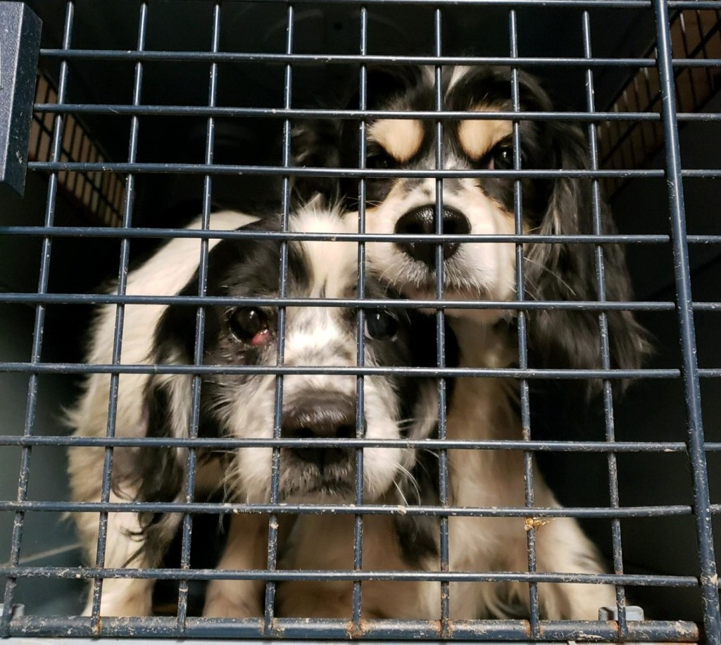 Dogs rescued Utica. Courtesy ANNA Shelter.