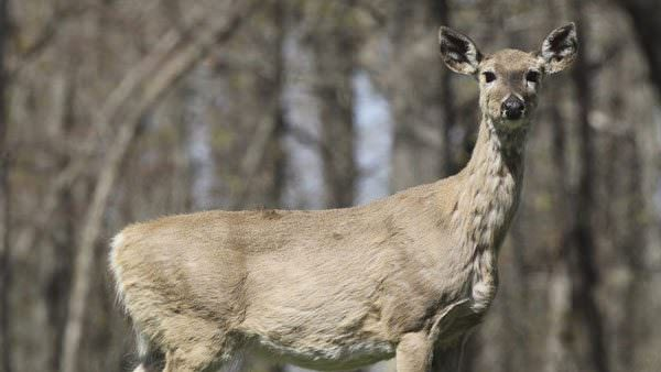 Chronic-Wasting-Disease-600x338