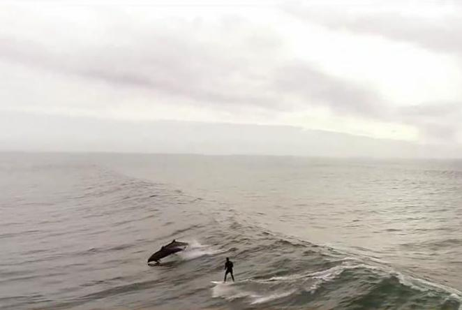 Surfer-joined-by-pod-of-playful-dolphins-in-California