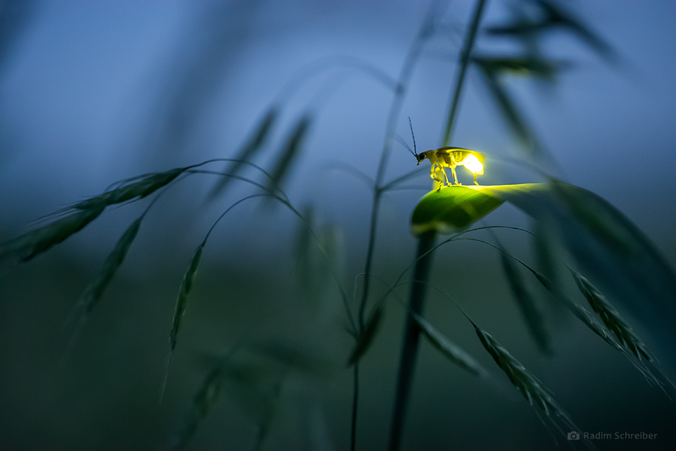 Firefly, as seen in the Allegheny National Forest. Photo by Radim Schreiber.