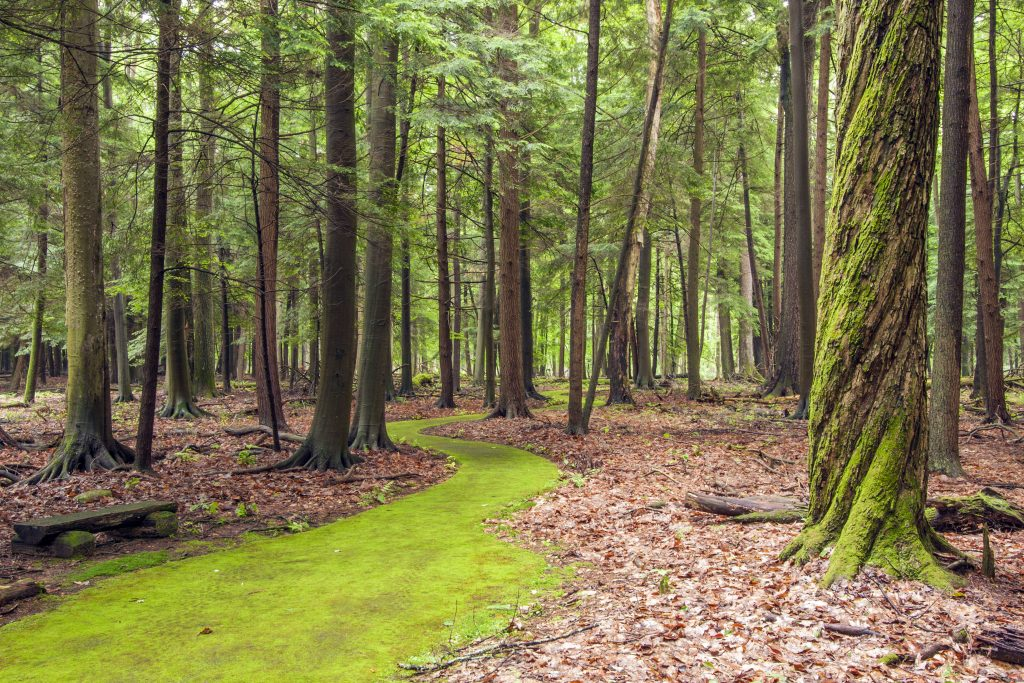 Cook-Forest-Emerald-Path-paved-trail-ADA-moss-green-twisted-snag-trees-hemlocks-2-Michael-Henderson-1024x683