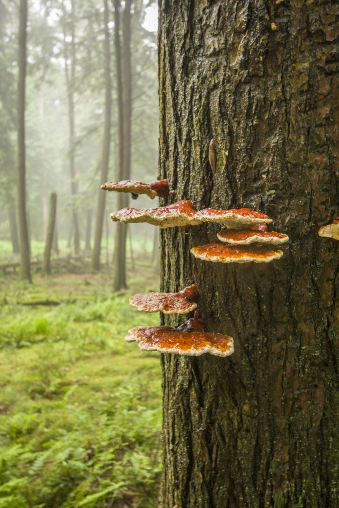 Cook-Forest-close-up-misty-trees-polypore-mushrooms-Michael-Henderson-683x1024