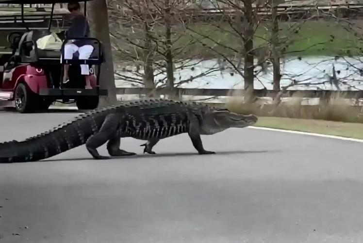 Prehistoric-monster-gator-relocated-from-golf-course