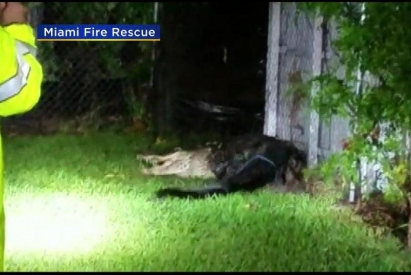 Unconscious-person-spotted-by-firefighters-was-11-foot-gator