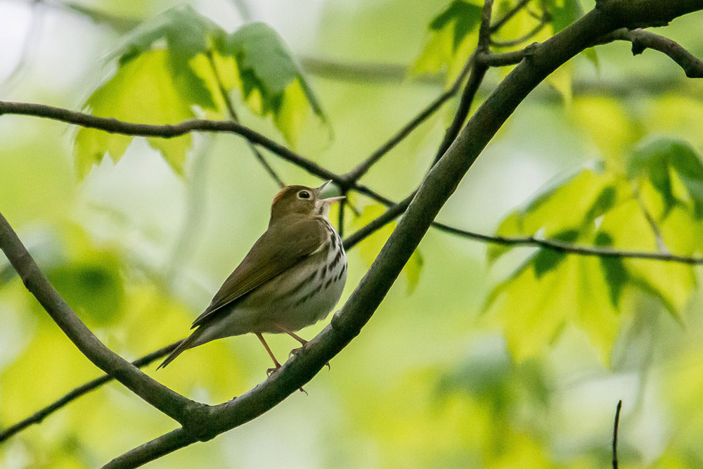 Ovenbird. Courtesy of John McCullough Photography.