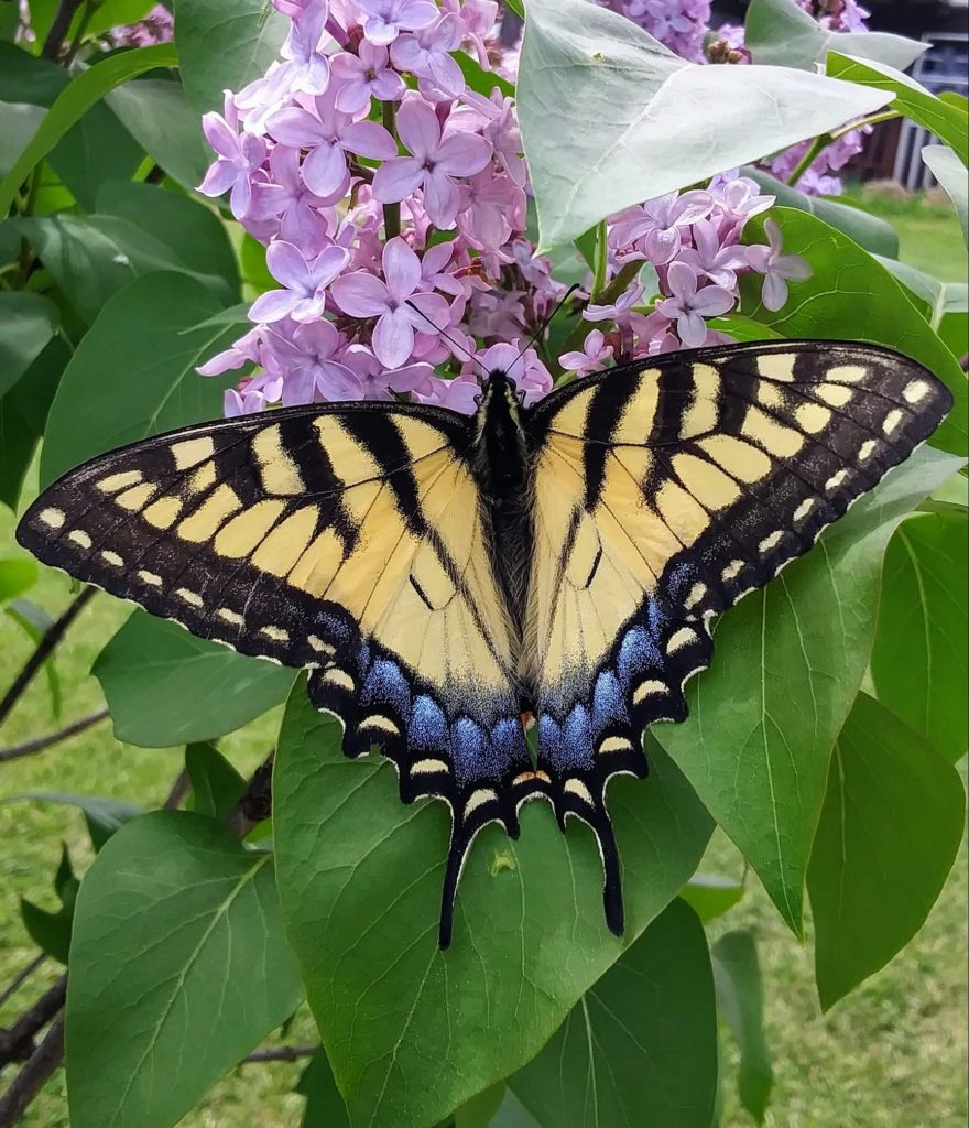 Swallowtail Butterfly on Lilacs. Photo captured in Emlenton. Submitted by David Proper.