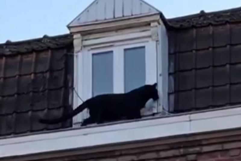 Black-panther-captured-after-walking-rooftops-in-French-town