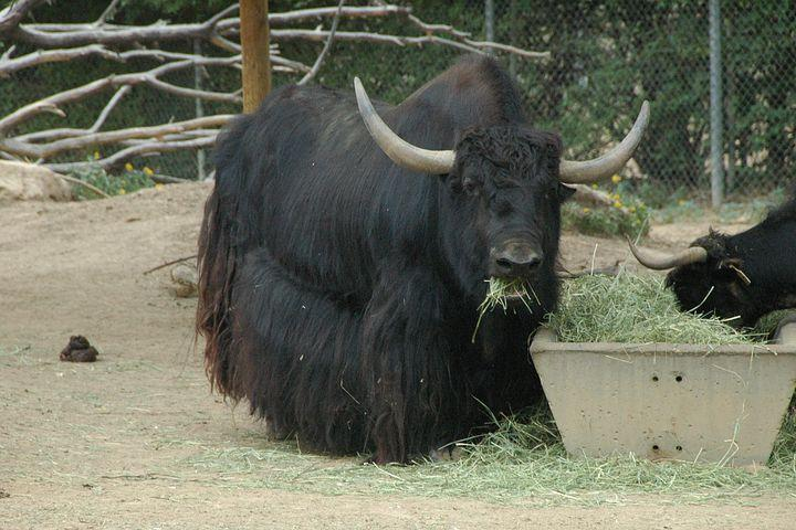 Butcher-bound-yak-on-the-run-after-Virginia-escape