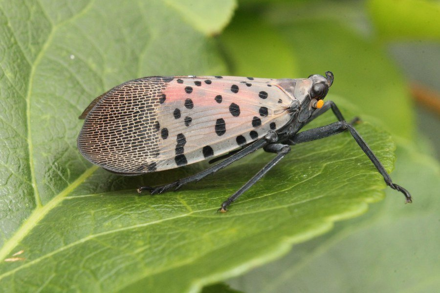 adult-spotted-lanternfly-side-view