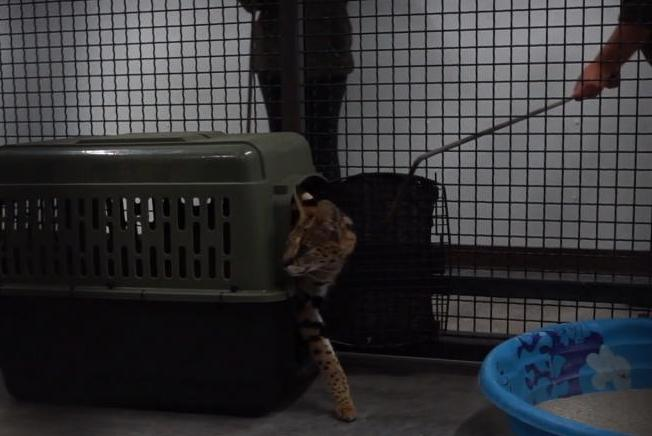 Serval-taken-to-wildlife-refuge-after-escaping-New-Mexico-owner-twice