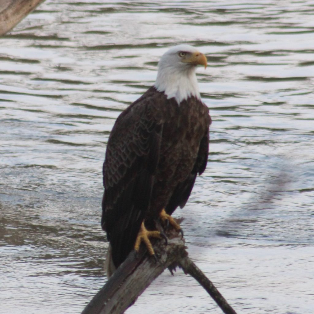 Eagle Watch, Saturday, March 28, 8:30 a.m. to 12:30 p.m.