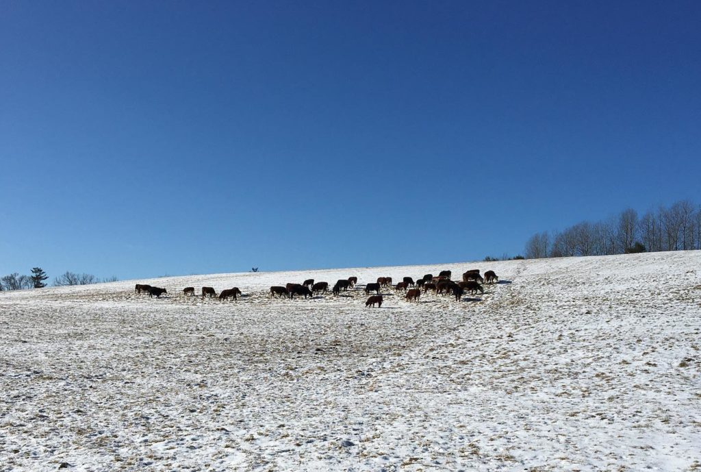 Cows enjoying the sun on a snowy day. Courtesy of Clarion Farms Beef Barn.