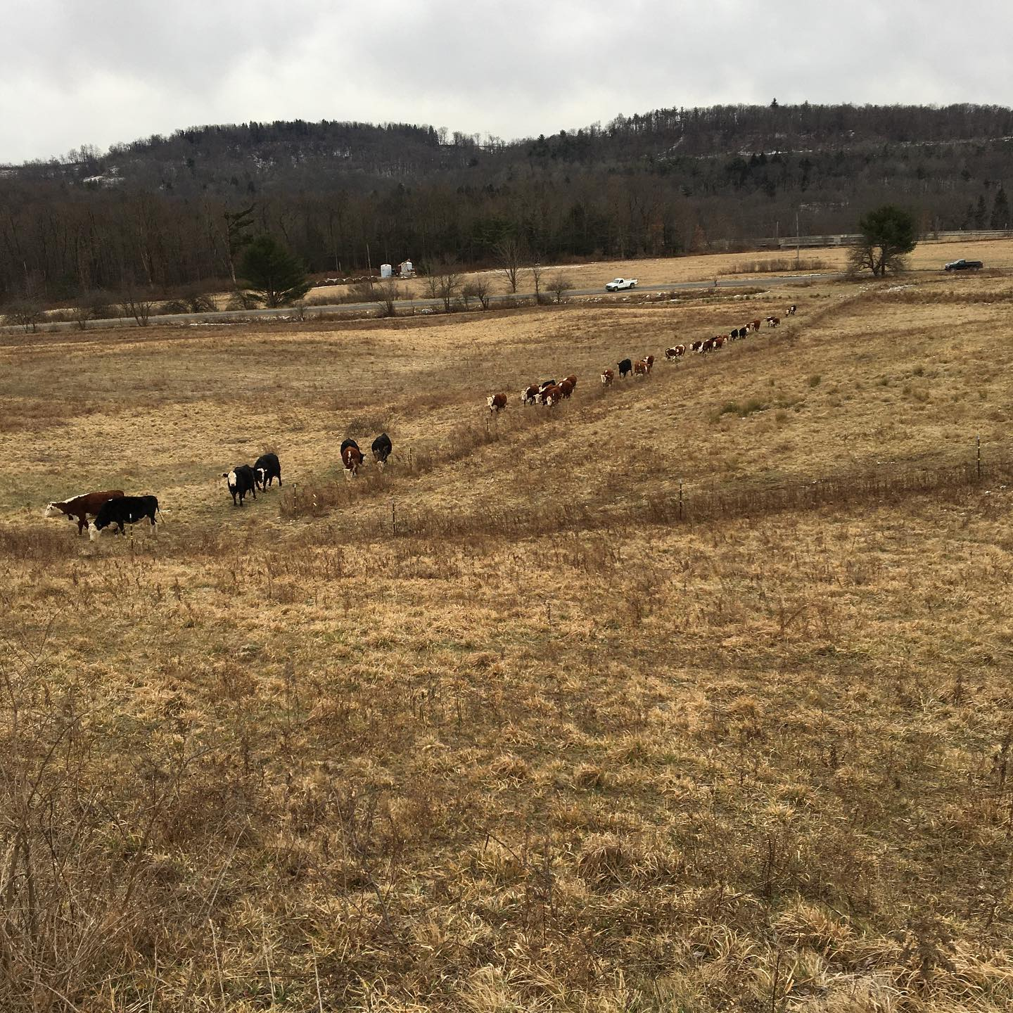 Moving the herd to another field. Courtesy of Clarion Farms Beef Barn.