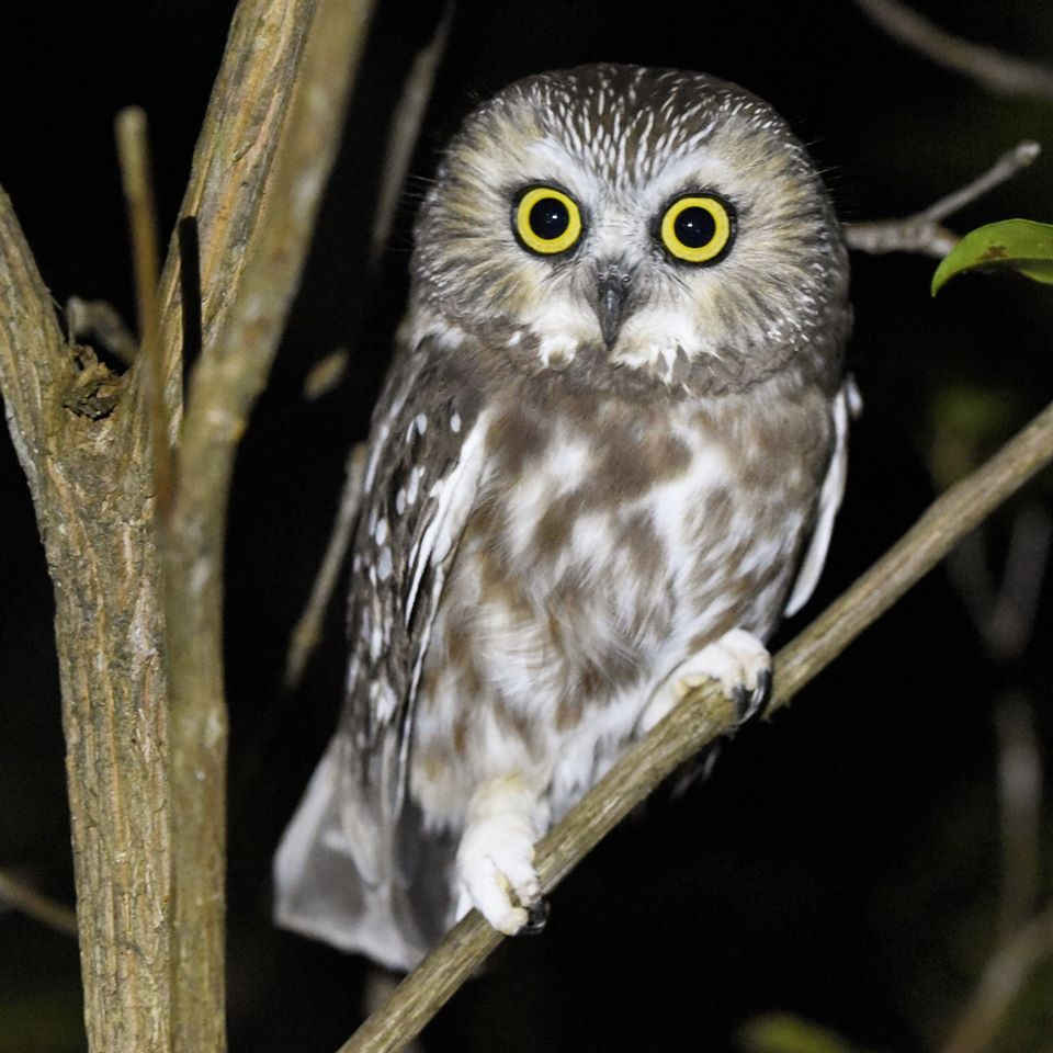 A Northern Saw-whet Owl in the Allegheny National Forest. Photo by Tianna Johnson. Courtesy of Hiking & Backpacking Pennsylvania.