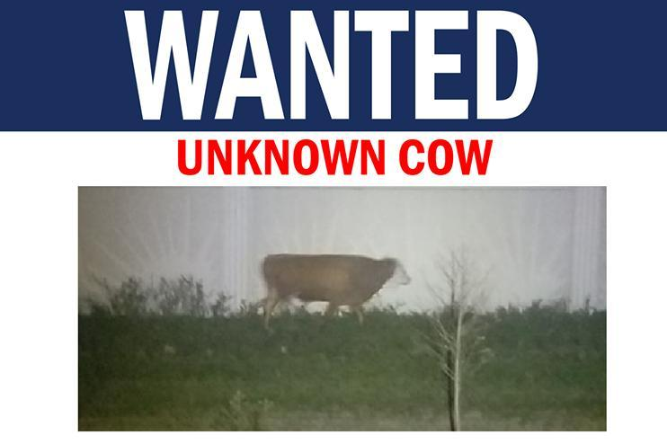 Faster-than-it-looks-cow-captured-after-two-months-in-Florida
