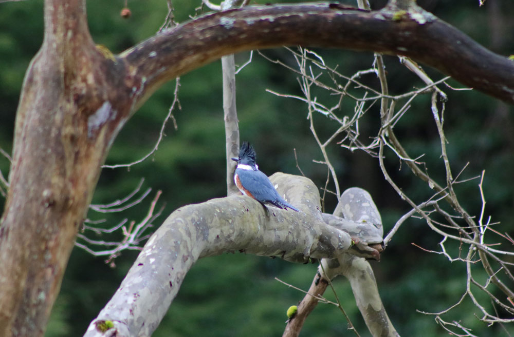 Kingfisher along the Clarion River. Courtesy Pale Whale Canoe Fleet.