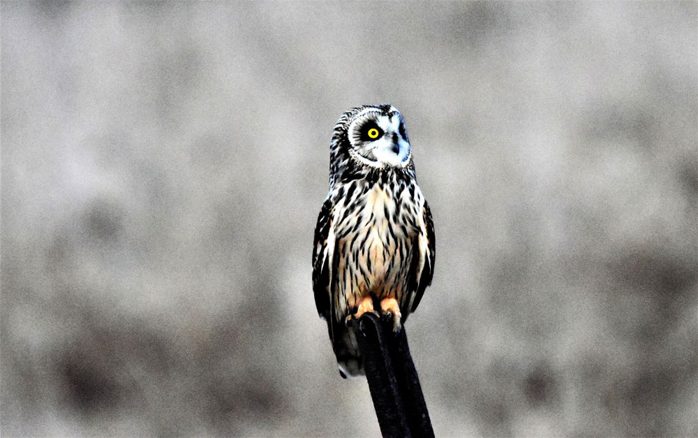 Short-eared owl neaer Sligo. Submitted by Greg Clary.
