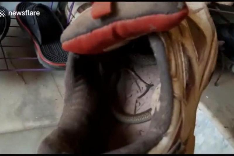 Man-finds-baby-cobra-coiled-inside-shoe